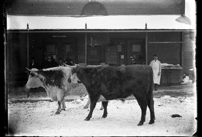 Allen's fat cattle